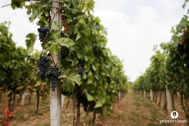 turulung-vii-viticultor-svab-plantatie-vita-de-vie