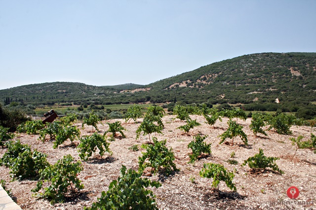robola-grape-vines-robola-cooperative-kefalonia