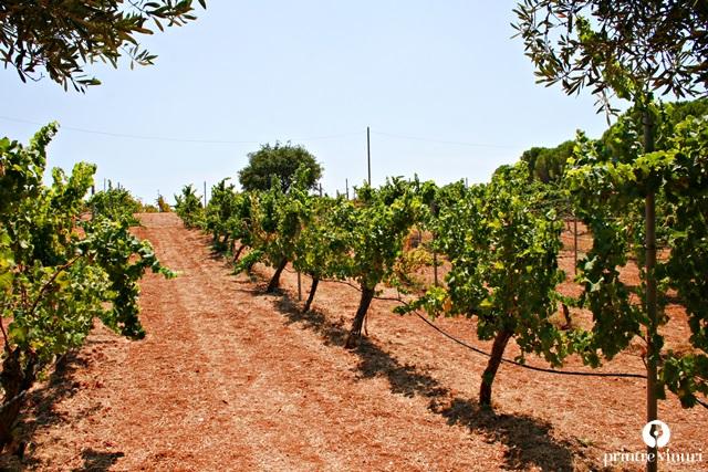 sauvignon-blanc-gentilini-winery